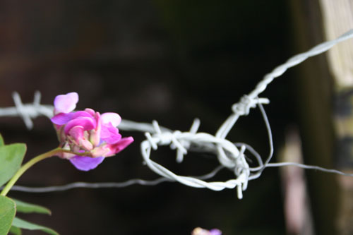 barbwire and a flower